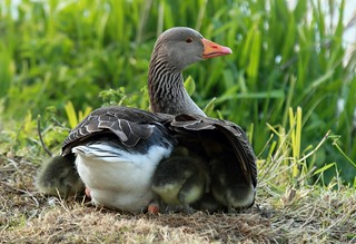 Greylag and Goslings Anser anser