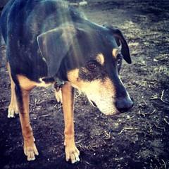 Tut says Good Morning IG! #dogstagram #spring #sunshine #rescued #coonhoundmix #adoptdontshop