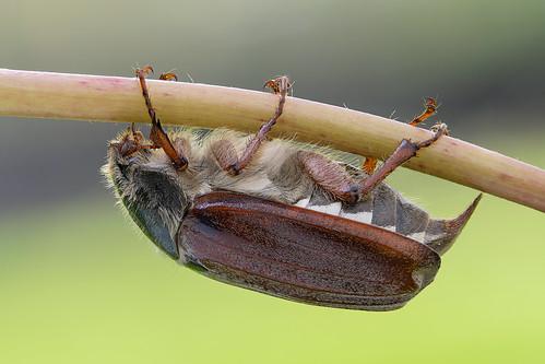 macro insect beetle naturallight focusstack melolonthamelolontha canonef100mmf28lmacroisusm zerenestacker arcaswisscubetripodhead sonya6000 gitzogt4552tstripod