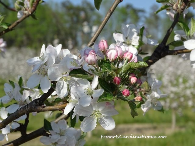 Apple Blossoms 2016 at From My Carolina Home