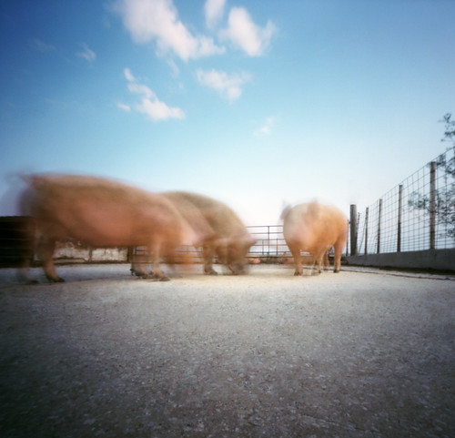 a trio of pink pinhole pigs