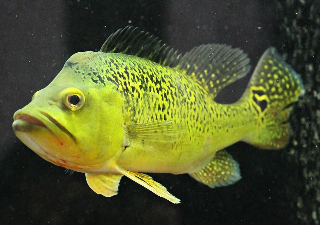 Kelberi peacock bass - photo#39