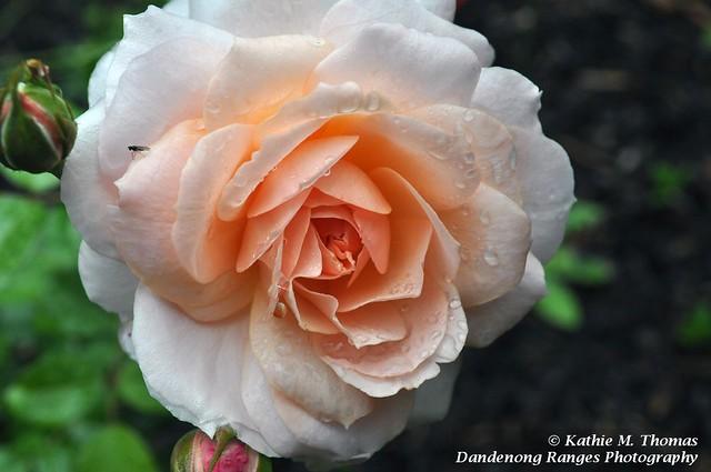 331-365 Betty Cuthbert Rose