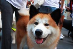 dog breed, animal, akita inu, west siberian laika, akita, dog, shiba inu, pet, shikoku, mammal, east siberian laika, greenland dog, korean jindo dog, norwegian lundehund,