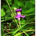 Linaria triornithophora - Photo (c) manuel m. v., algunos derechos reservados (CC BY-NC-ND)