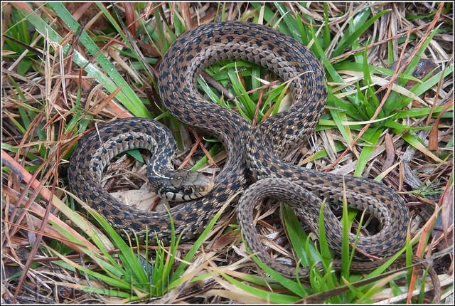 Eastern Garter Snake Thamnophis Sirtalis Ordinatus