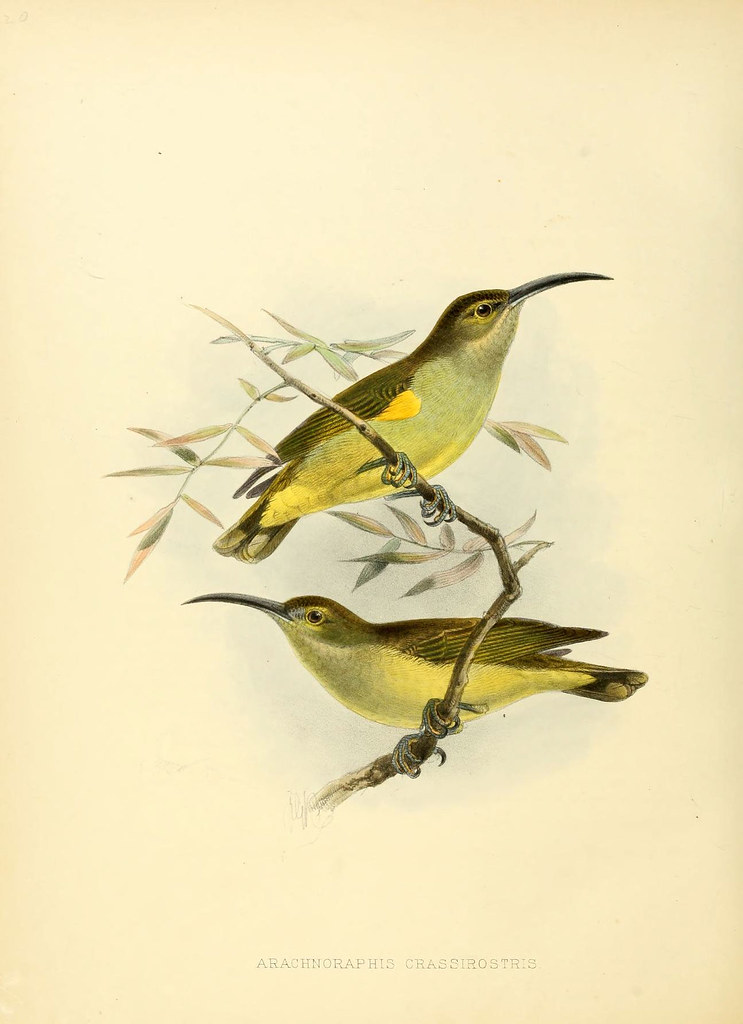 lithograph of yellow birds