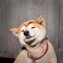Japan dog
