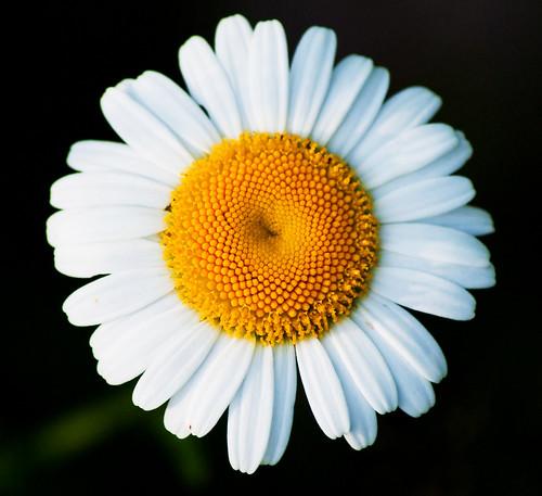 flower nature suomi finland daisy luonto keskisuomi kukka päivänkakkara haapamäki