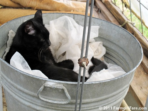 Mr. Midnight snuggled up in a vintage galvanized tub in the greenhouse 4 - FarmgirlFare.com