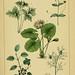 Traité pratique et raisonné des plantes médicinales indigènes. 1868.