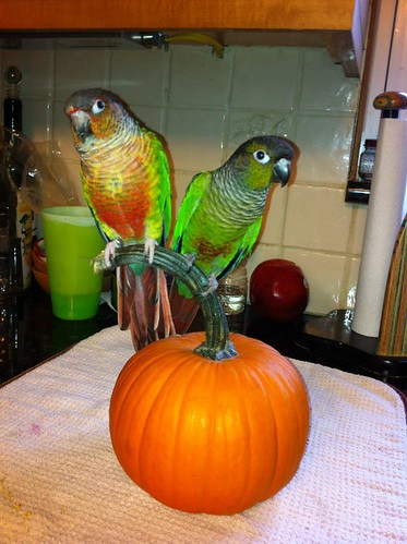parrot training, green cheek conure, training green cheek conures, green cheek conure care