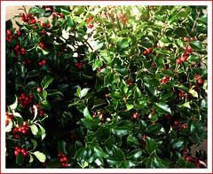 evergreen(0.0), calamondin(0.0), acerola(0.0), flower(0.0), shrub(1.0), plant(1.0), produce(1.0), fruit(1.0), food(1.0), aquifoliales(1.0), holly(1.0),