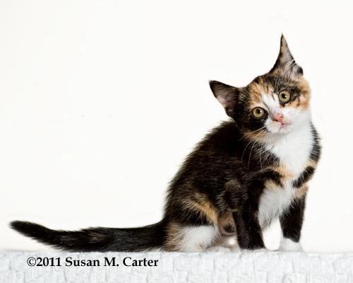 Fauquier SPCA kitten