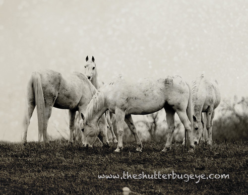 Horses - Black and White by The Shutterbug Eye™