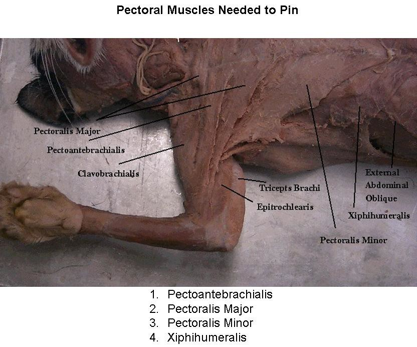 1 Pectoral muscles