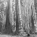 Giants Sequoias at Mariposa Grove