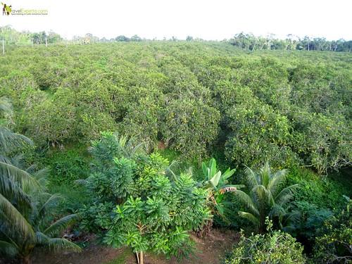 orange groves of belize
