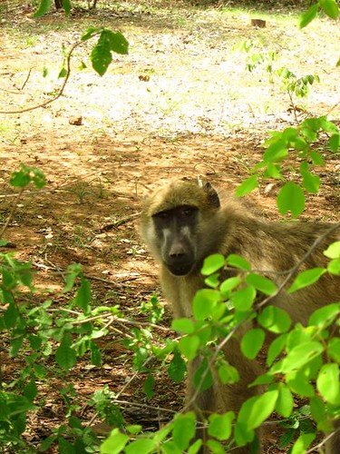 baboon victoria falls Zambia Africa