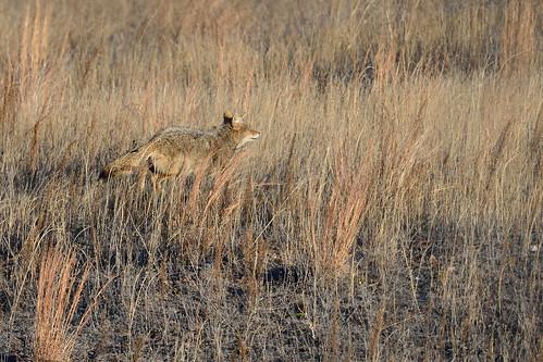Coyote DSC_1608