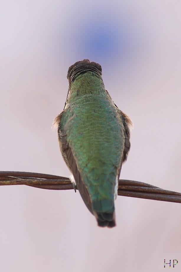 Anna's Hummingbird 122012-0