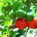 Small photo of Acerola verdes e vermelhas