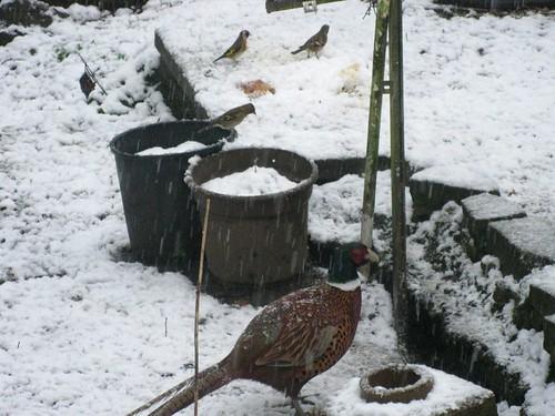 Snowy pheasant