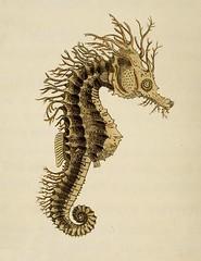 seahorse, drawing, illustration,