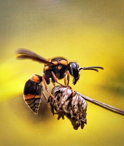 [フリー画像素材] 動物 2, 昆虫, 蜂・ハチ, スズメバチ ID:201112290400