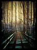 Forest Walkway by PixelMikesteban