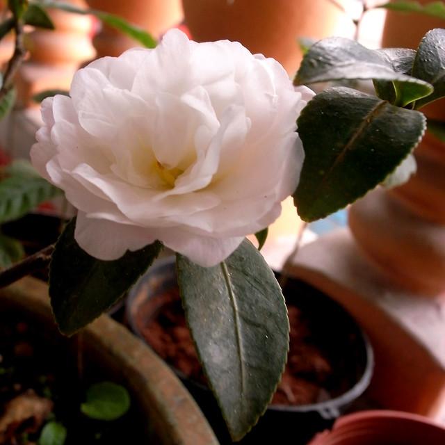 茶梅(Sasanqua camellia) R0018756