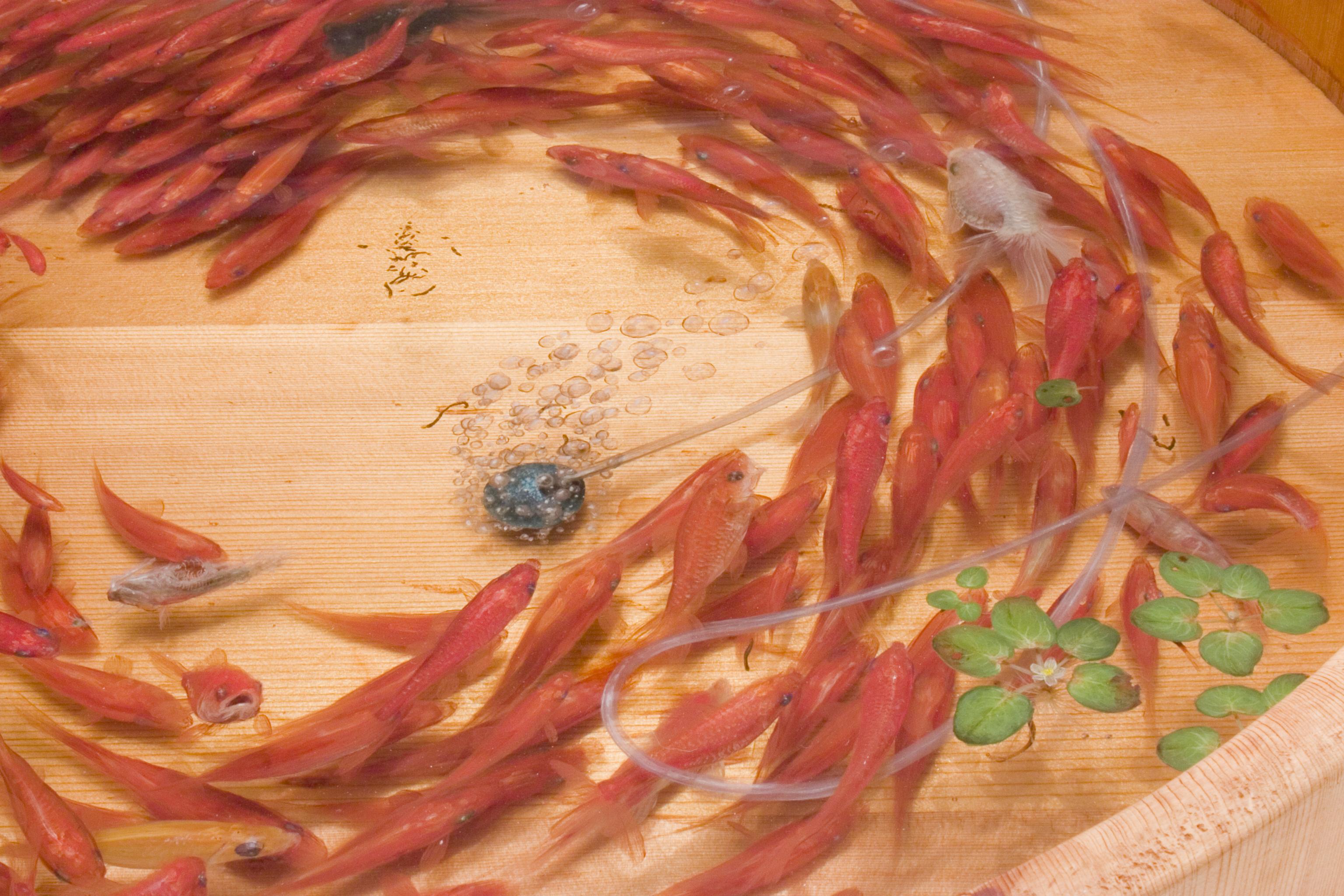 Muses, Riusuke Fukahori - Goldfish Salvation