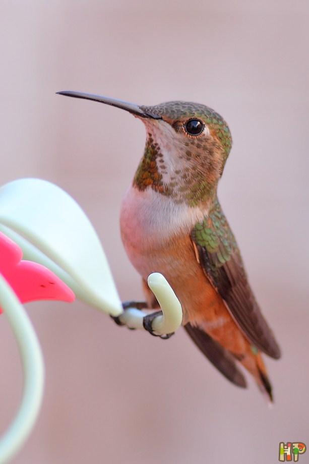 Allen's Hummingbird 122612