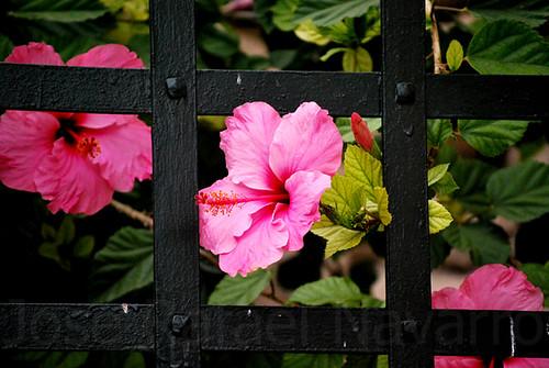 Flor entre rejas