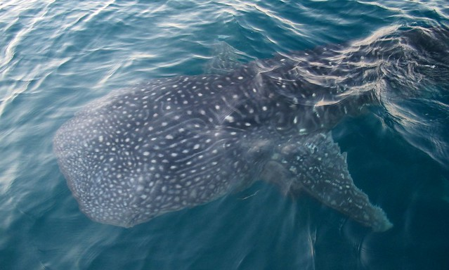 Whale shark (Rhincodon typus) in El Nido, Palawan