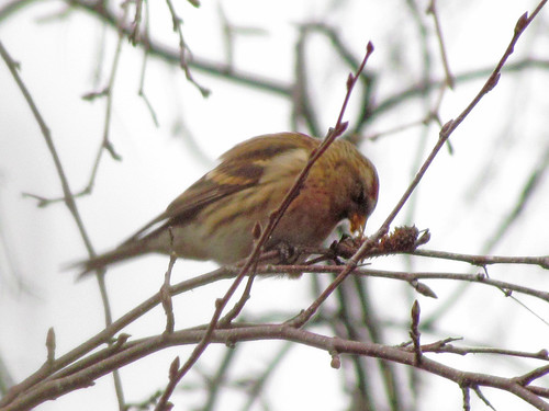 Lesser Redpoll by WoodwolfUW