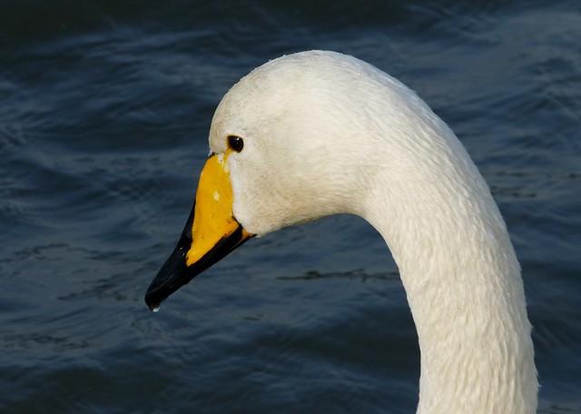 25440 - Whooper Swan, Cosmeston