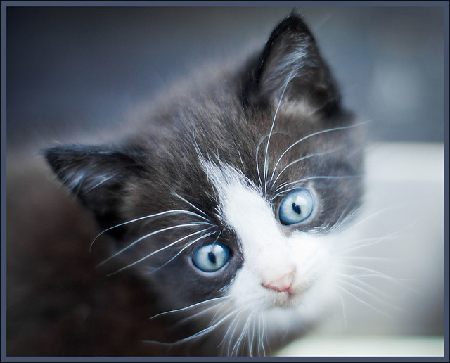 Kitten Blue Eyes