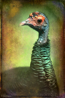 Finer Feathered Friends- Occelated Turkey