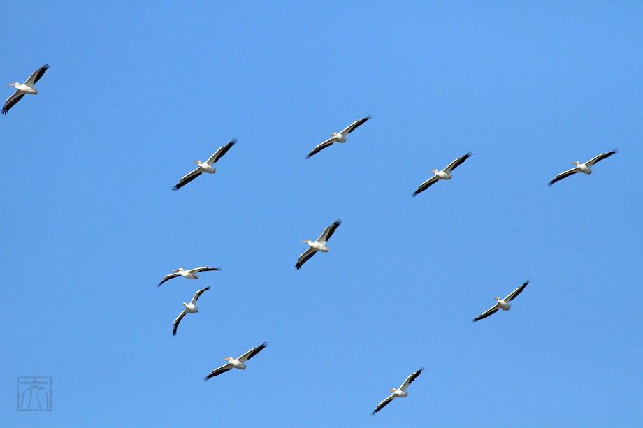 American White Pelican 010112-5