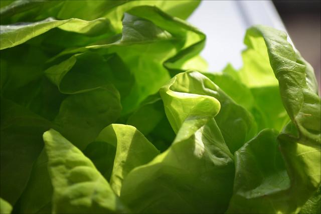 2012 9/365 Lettuce!