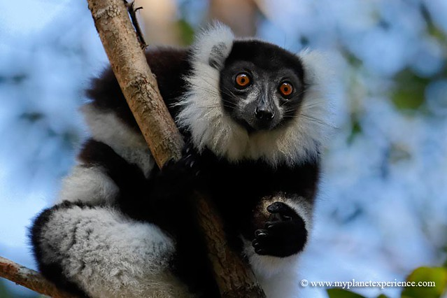Black-and-white ruffed lemur - Madagascar