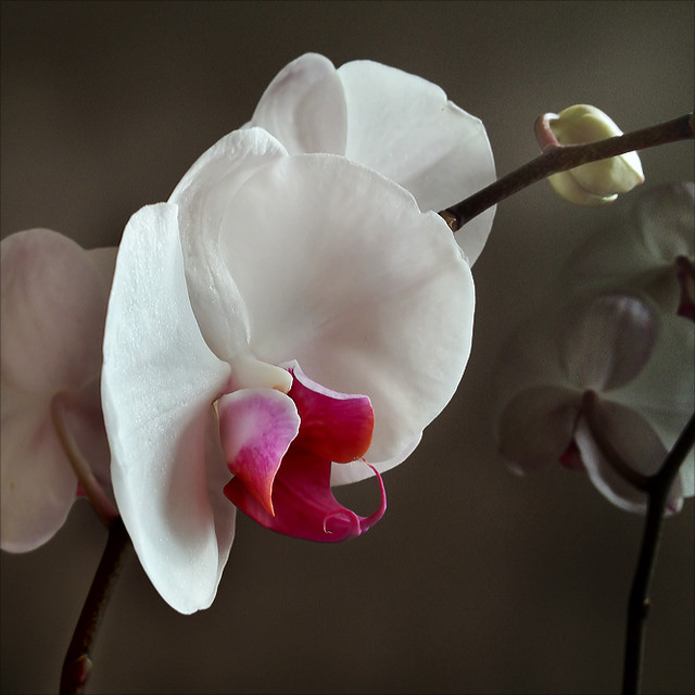 Orchid (iP 06)