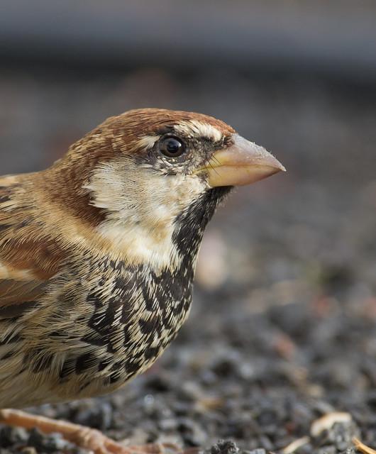 Spanish sparrow 4