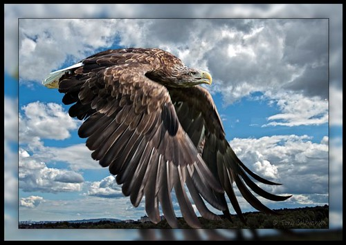 White Tailed Sea Eagle ..... same as last picture but in colour.