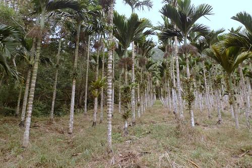 長濱鄉一處40公頃的低海拔殼斗科原始林,長年不經管,變身檳榔園。(地球公民基金會提供)