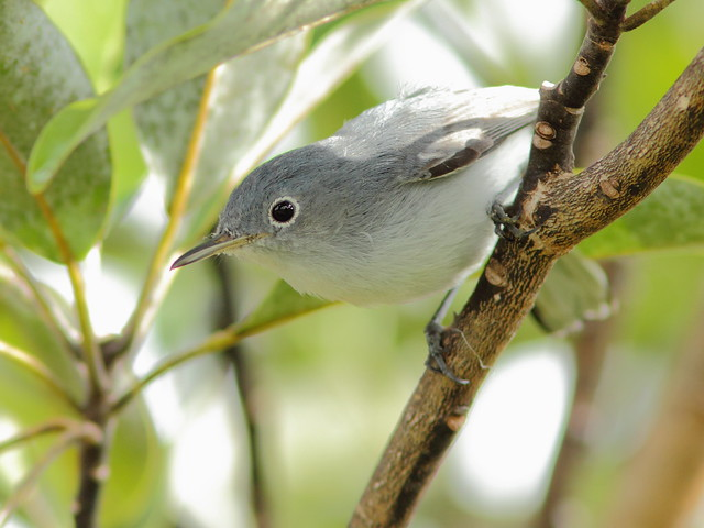 Blue-gray Gnatcatcher 20120113