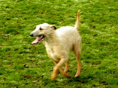 animal sports(0.0), hound(0.0), silken windhound(0.0), whippet(0.0), galgo espaã±ol(0.0), sighthound(0.0), sports(0.0), pet(0.0), borzoi(0.0), dog sports(1.0), dog breed(1.0), animal(1.0), dog(1.0), saluki(1.0), mammal(1.0), lurcher(1.0),
