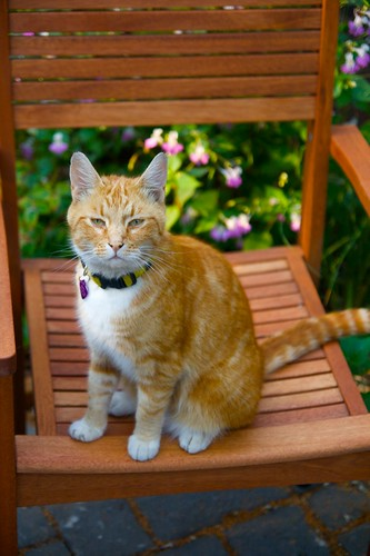 orange cat in chair  1214
