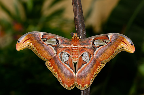 Attacus Atlas (Polilla del Atlas) by cadiyo